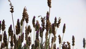 Backlit lavender plants. Lavender aromatic plants backlit over gray sky stock image