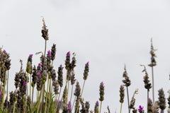 Backlit lavender plants. Lavender aromatic plants backlit over gray sky royalty free stock photos