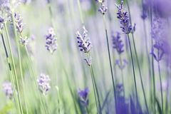 Lavender art Stock Photo