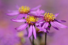 Lavender aster Royalty Free Stock Photography