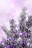 Lavender background Stock Image