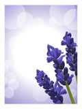 Lavender background 2 Stock Photo
