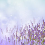 Lavender Background Stock Images