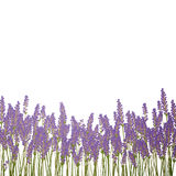 Lavender Background. Illustration of a Lavender Background Royalty Free Stock Photo