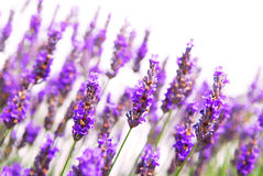 Lavender background Stock Photography