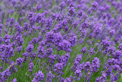 Lavender background. Mass of purple lavender background royalty free stock photos