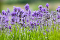 Lavender background royalty free stock image
