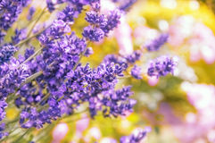 Lavender, background with bokeh Stock Image