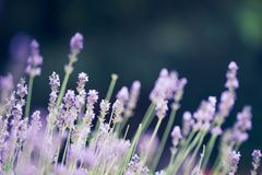 Lavender, background  bokeh , toned purple violet closeup bloom Royalty Free Stock Photo