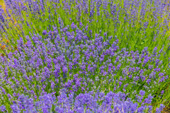 Lavender background . Royalty Free Stock Photos