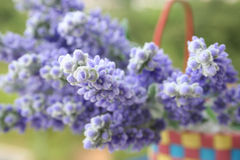 Lavender in the basket, close-up. Royalty Free Stock Photos