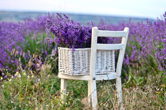 Lavender. In the basket near the field stock photography