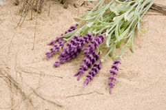 Lavender on the beach Royalty Free Stock Image