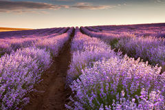 Lavender. Beautiful lavender field at sunrise Royalty Free Stock Image