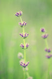 Lavender beautiful flowers Stock Image
