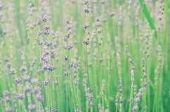 Lavender beautiful flowers Royalty Free Stock Photo