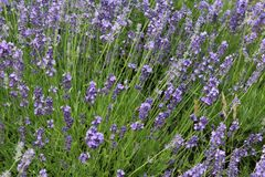 Lavender Royalty Free Stock Photo