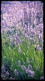 Lavender. Beautiful lavender with a little visitor royalty free stock image