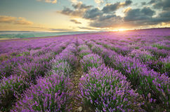 Lavender beautiful meadow. Royalty Free Stock Photography