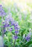 Lavender Beautiful purple flowers job And useful to smell fresh. Lavender Beautiful purple flowers job And useful to smell fresh Stock Image