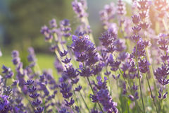 Lavender. Beautiful summer lavender flower plant royalty free stock photography