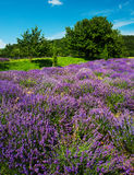 Lavender Stock Photography