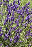 Lavender bed. In the garden Stock Images