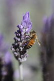 Lavender bee Stock Photography