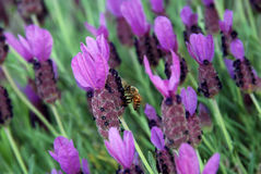 Lavender and a bee royalty free stock image