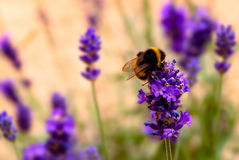 Lavender and Bee Stock Photos