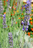 Lavender & Bee. A bee on a lavender flower in a violet and orange background Royalty Free Stock Image
