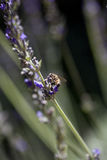 Lavender Bee Stock Image