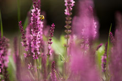 Lavender and bee , defocused background Stock Photos