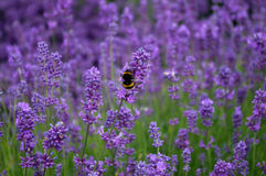 Lavender with bee Stock Image