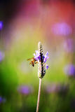 Lavender Stock Photos