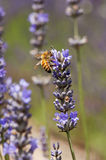 Lavender and bee. A bee is gathering pollen from lavender Royalty Free Stock Images
