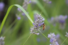 Lavender and bee Royalty Free Stock Photography