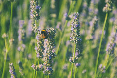 Lavender and Bee in a sunny day Royalty Free Stock Images