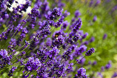 Lavender and bees Royalty Free Stock Photo