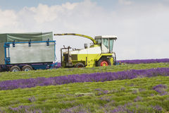 Lavender being harvested by machine Royalty Free Stock Photography