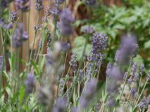 Lavender in bloom. In and out of focus lavender plant royalty free stock photography