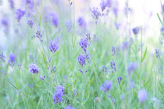 Lavender in bloom. Purple lavender flowering suitable as background Stock Photos