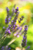 Lavender blooming. Close to lavender blooming outdoor Royalty Free Stock Photos