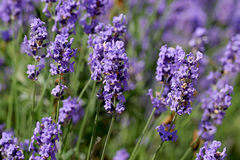 Lavender blooming Royalty Free Stock Photo