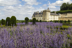 Lavender blooming in castle gardens Royalty Free Stock Images
