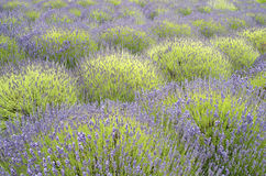 Lavender Blooming In A Field Royalty Free Stock Photography