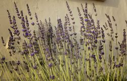 Lavender blooming flowers on the background of the old yellow wal. L, selective focus stock image