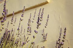 Lavender blooming flowers on the background of the old yellow wall. Selective focus stock image