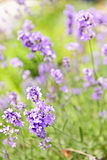 Lavender blooming in a garden. Botanical background of blooming purple lavender herb in a garden Stock Image