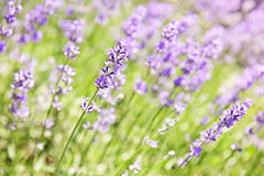 Lavender blooming in a garden. Botanical background of blooming purple lavender herb in a garden Stock Photography
